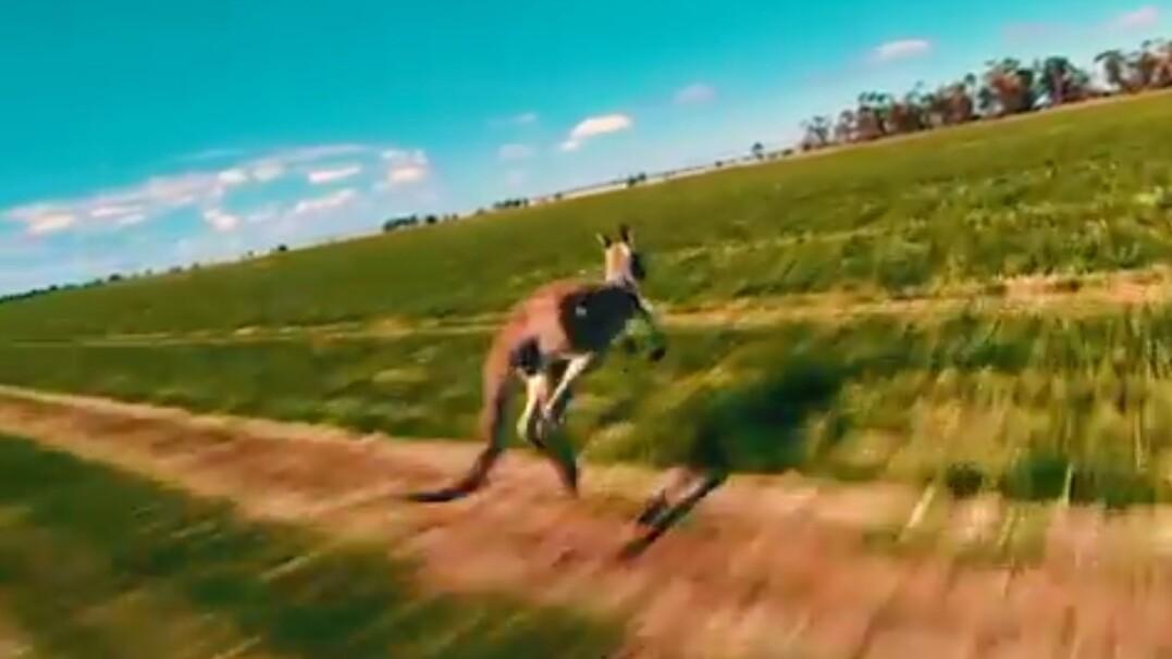 Tak szybko porusza się kangur. Zobacz nagranie