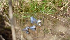Niebieskie gody żab moczarowych