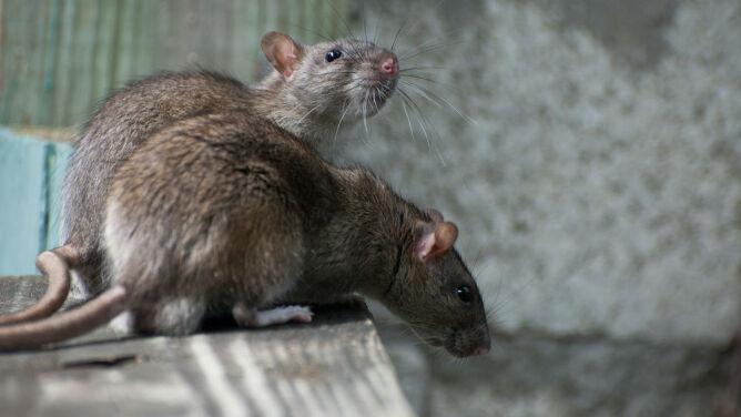 Brytyjskie szczury mutanty są nie do pokonania