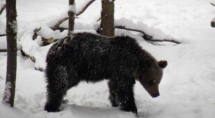 W Rumunii będą liczyć niedźwiedzie