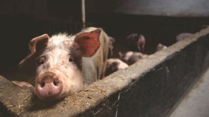 Odkryto nowy szczep wirusa świńskiej grypy. <br />Może stwarzać zagrożenie dla ludzi