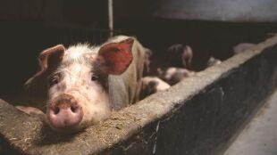 Odkryto nowy szczep wirusa świńskiej grypy. Może stwarzać zagrożenie dla ludzi