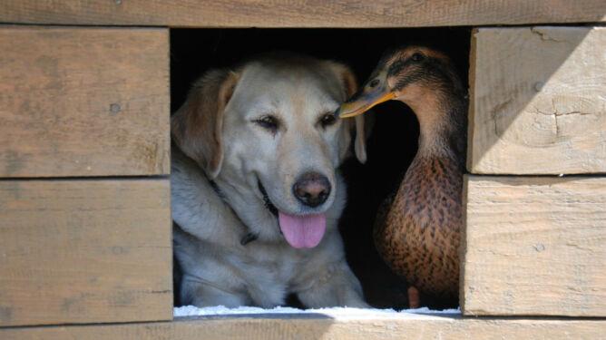 Jak pies... z kaczką. Historia niezwykłej przyjaźni