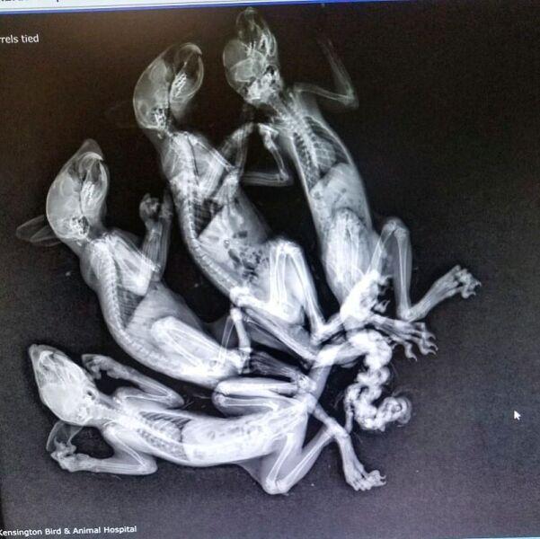 Zdjęcie rentgenowskie wiewiórek (Kensington Bird and Animal Hospital)