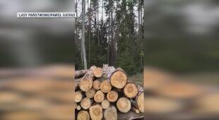 Ryś odpoczywał na stercie drewna